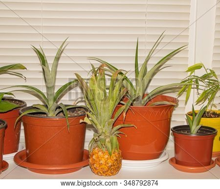 A Pineapple Fruit, Benefits Of Pineapple. Home-grown Pineapple