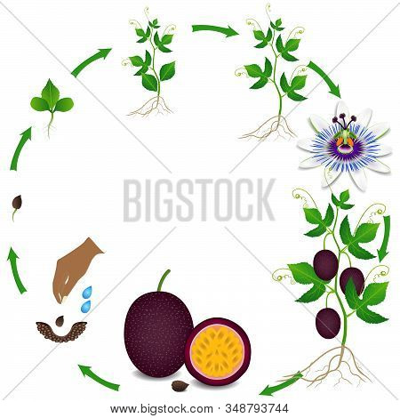 Life Cycle Of A Passion Fruit Plant On A White Background.