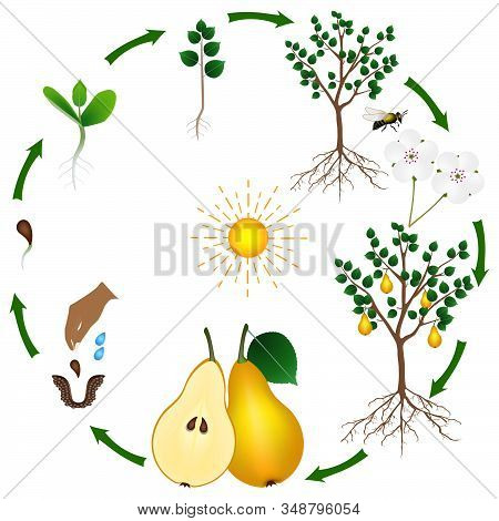 Life Cycle Of A Pear Tree On A White Background.