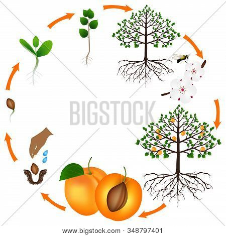 Life Cycle Of Apricot Tree On A White Background.