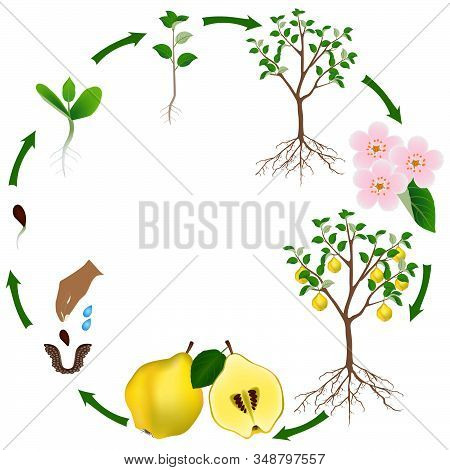 Life Cycle Of A Quince Plant On A White Background.