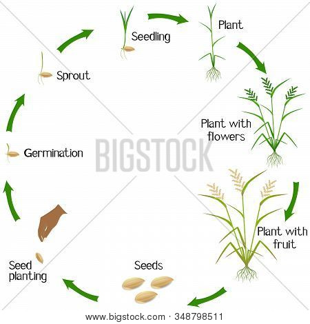 Life Cycle Of A Rice Plant On A White Background.