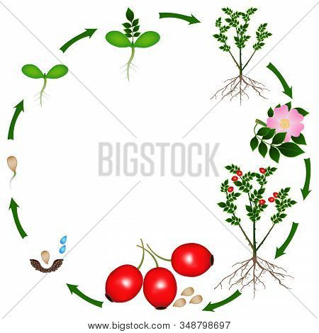 Life Cycle Of A Rose Hips Plant On A White Background.
