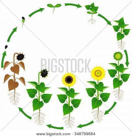 Life Cycle Of A Sunflower Plant On A White Background.