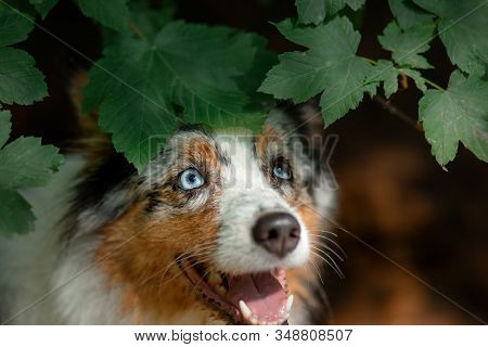 Portrait Of A Dog In Nature. Pet For A Walk. Australian Shepherd Peeps Out From Under A Bush