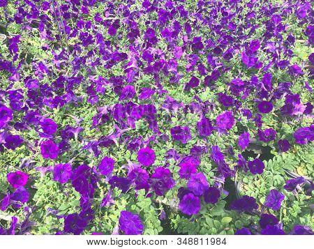 Purple Petunia Hybrida Field, Background And Texture