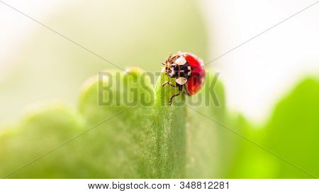 Macro Of Ladybug On A Blade Of Grass In The Morning Sun Ladybug - Bug. Natural Insecticide That Dest