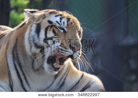 Close Up Of Hungry Tiger .side View Of Rare Black And White Striped Adult Tiger, Tigers Known Names-