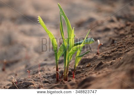Water Drop On The Maize Plants Or Corn Plant In The Morning, Close Up Of Maize Plants Or Corn Plants