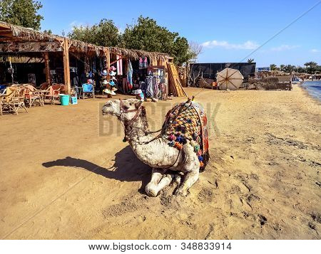 Egypt, Sharm El Sheikh - January 17, 2020: A Harnessed Dromedary Lies On The Beach In Sharm El Sheik