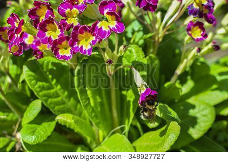 Bumblebee On A Red Flower Among Flowers And Green Leaves. On Flower Nectar. Collect Nectar.