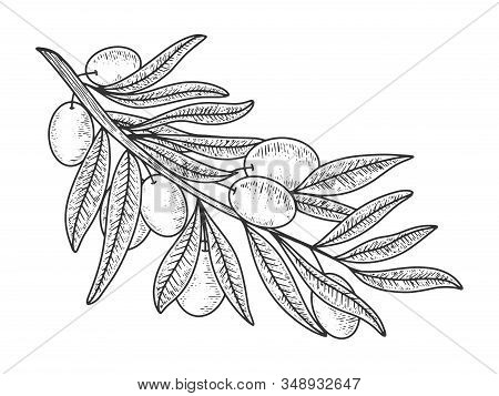 Olive Branch Sketch Engraving Vector Illustration. T-shirt Apparel Print Design. Scratch Board Imita