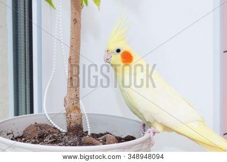 Cheeky Domestic Cockatiel Parrot Corella Plaing At Home