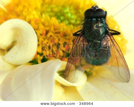 poster of a close up of a fly on a chrysanthemum flower.