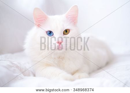 White Cat With Different Color Eyes. Turkish Angora. Van Kitten With Blue And Green Eye Lies On Whit