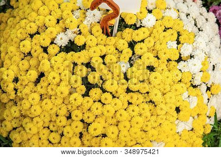 Beautiful Yellow And White Small Chrysanthemums As A Background Picture. Wallpaper With Chrysanthemu