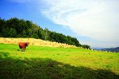 Lonely Cow and beautiful landscape in Mountains poster