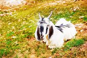 Goat lying on mountainous hills poster
