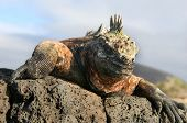 Marine Iguana looking down from Volcanic Rocks poster