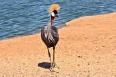 Park safari in Tel Aviv. Elegant and graceful bird with magnificent plumage crest on the head. He lives near bodies of water poster