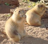 Two prarie dogs taking a snack break together. poster