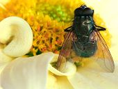 a close up of a fly on a chrysanthemum flower. poster