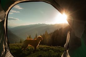 Camping With A Dog In The Mountains. Pet In A Tent On The Nature. Nova Scotia Duck Tolling Retriever