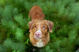 Dog In Nature. Nova Scotia Duck Tolling Retriever In Nature. Walk With A Pet. Toller Outside. View F