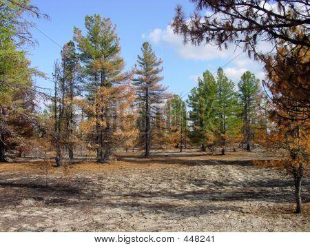Cedar Wood After A Fire.