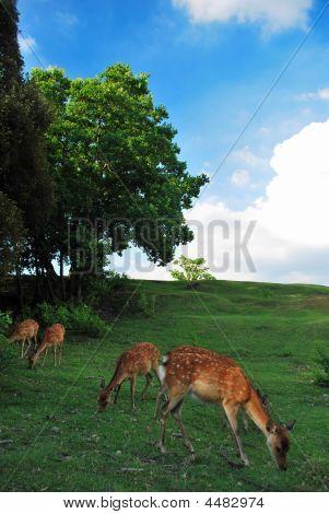 Deers feeding on grass in Takabatake in Nara Japan poster