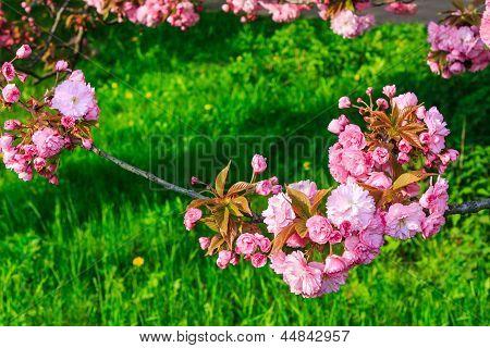 Pink Flowers Above Grass On Sakura Branches
