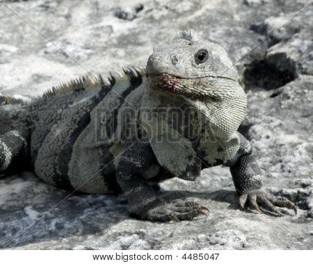 Mayan Iguana 2