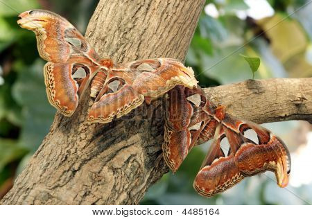 These are the Atlas Butterfly (Attacus Atlas). They're the biggest butterflies on Earth and live for about 8 days because they can't eat. poster
