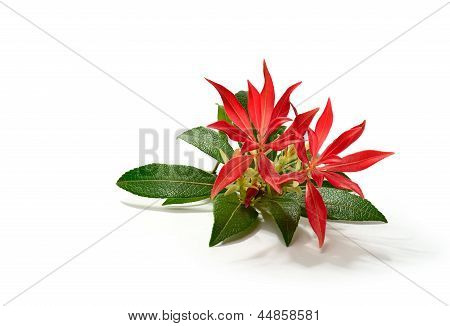 Pieris Formosa (forest Flame)