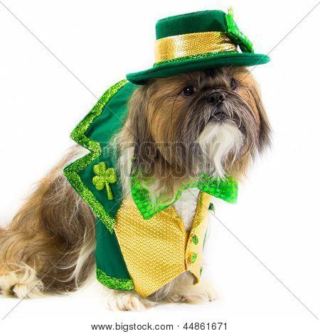 Shih Tzu Dressed For  St. Patrick's Day