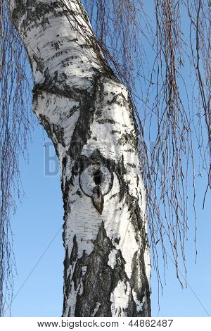 Trunk Of Birch