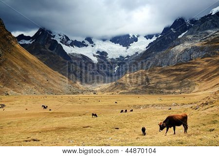 Cattle in Cordiliera Huayhuash, Peru, South America poster