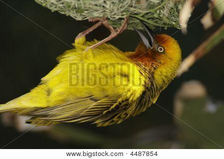 Cape Weaver Male ploceus Capensis