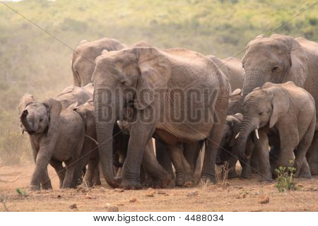 Family Herd Of African Elephant loxodonta Africana