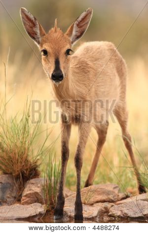 Common Duiker Female sylvicapra Grimmia