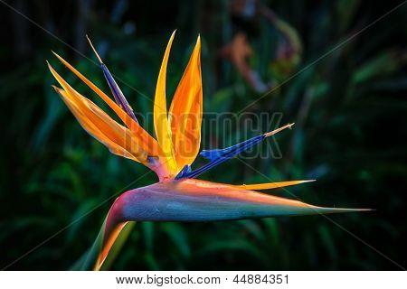 Bird Of Paradise Plant In Full Bloom