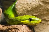 young Red Tailed Racer (Gonyosoma oxycephala) - detail of head poster