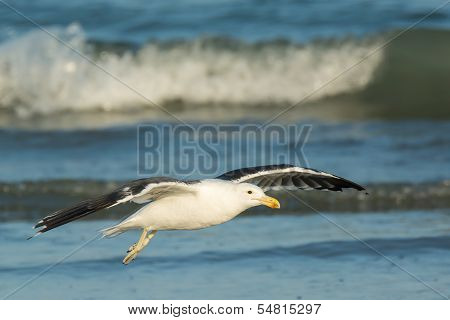 Kelp Gull Soaring Over The Waves