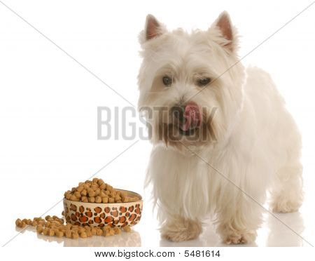 west highland white terrier licking lips standing beside food dish poster