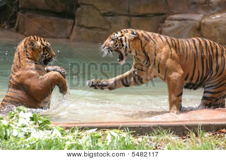 Tiger Cub In Fight