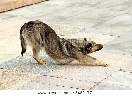 Brown Dog Flexes, Pulling The Front Paws