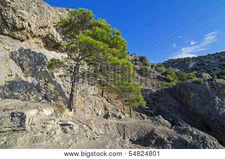 Pine On The Cliff.