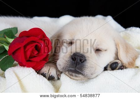 Labrador puppy sleeping on blanket with red rose studio shot poster