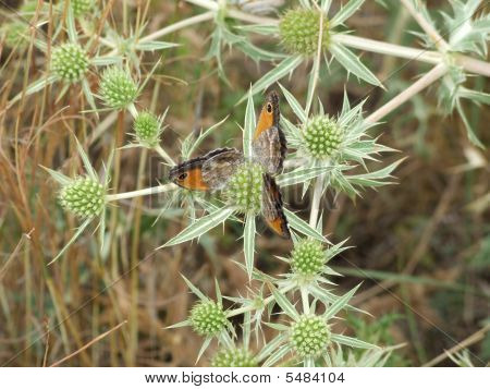 Butterflys On Thistle