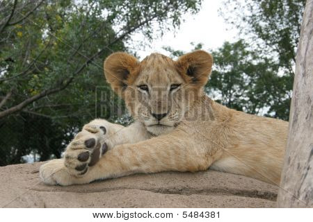 A lion resting in the sun after having eaten breakfast. poster